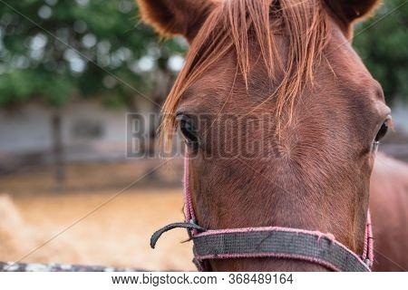 Portrait Of A Beautiful Brown Horse. Horse Farm, Barnyard, Family Of Horses.
