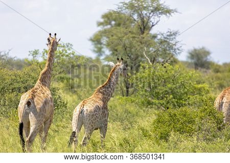 A Group Of Startled Giraffe Run For Safety In Central Africa. The Left Hand Animal Shows The Eye Pos