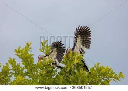 A Pair Of Yellow-billed Hornbills Land In A Tree In Botswana
