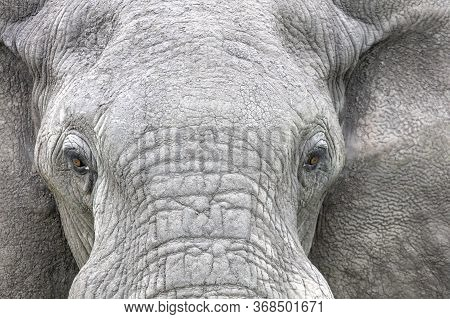 Close-up View Of The Face Of An Elephant With The Focus On The Eyes.
