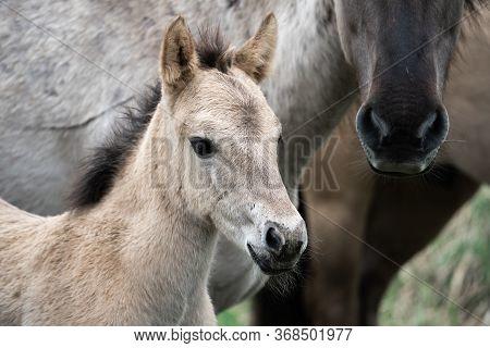 Wild Cute Horse Foal Close-up. Tarpan Foal Portrait. Wildlife.