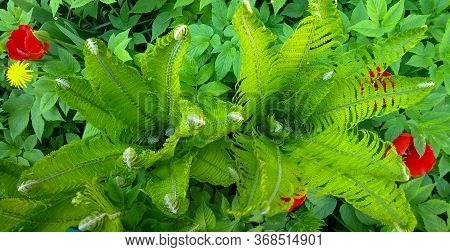 Beautiful Green Fern Leaves. Spring Foliage Of Nature. Floral Background Of Fern. Tropical Leaf. An