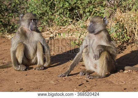 Chacma Baboon (Papio ursinus) pair sitting and plotting some trouble to get into in Kruger, South Africa