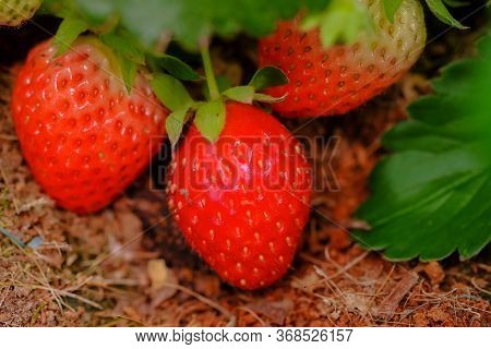 Strawberries red mellow ripe perfect. Healthy fresh strawberries are grown in a greenhouse on an org