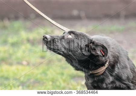 Black Mongrel Dog On A Leash Looks Imploringly Up In Fear