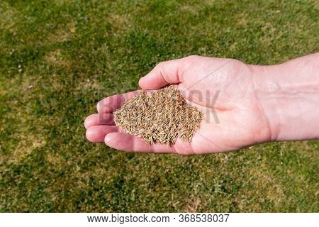 Man With A Handful Of Grass Seed - Ready To Sow On To Patchy Lawn Area
