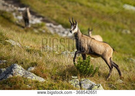 Tatra Chamois Walking Up A Hill With Rocks And Dry Grass In Mountains