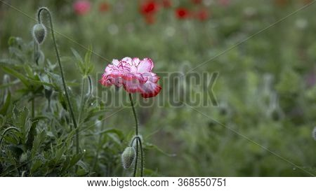 Bright Background In Poppy.the Flower Is Odorless.dew Droplets On Poppy Buds.poppy Buds In All Its G