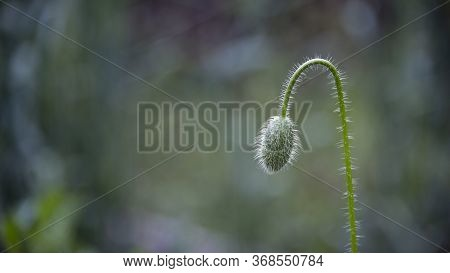 Poppy Buds In All Its Glory.the Bud Buds Sway.a Light Wind Blows The Poppy Bud.poppy Cultivation.the
