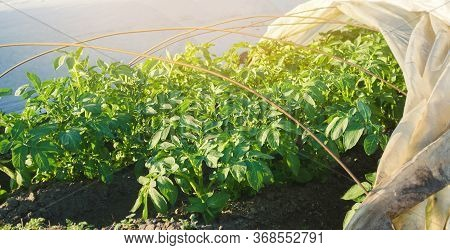 Growing Young Potatoes Under Agrofibre In Small Greenhouses. Spunbond To Protect Against Frost And K