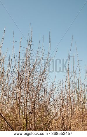 Leafless Branches Of A Hedge Of Wild Fruit Trees On A Sunny Day In Spring