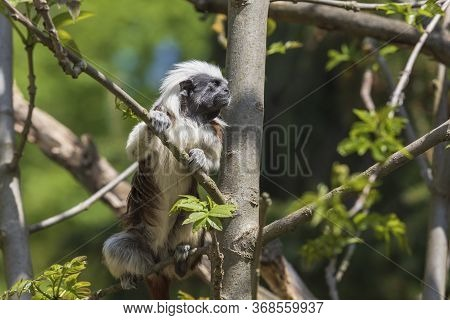 Saguinus Oedipus - Tamarin Pinscher - A Little Cute Monkey Is On A Green Tree.