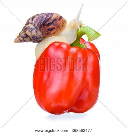 Pepper. Organic Pepper Closeup. Isolated Red Pepper. Snail. A Snail For Design Crawls On Pepper. Clo