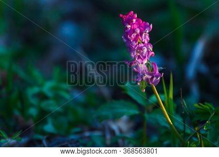 Beautiful Purple Wild Flower In Sunset. Spring Forest