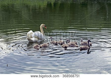Swans And Young In The Water