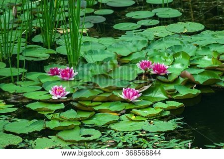 Landscape With Pink Water Lilies On The Lake On A Sunny Day. Ukraine, Kiev