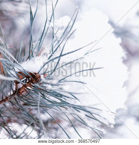 Large Blue Spruce Branch With Snow. Winter Spruce Branch Under White Snow. Snow On The Branches Of S