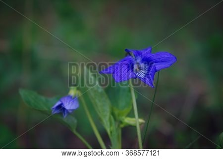 Viola Odorata Sweet Violet, English Violet, Common Violet - Violet Flowers Bloom In The Forest In Sp