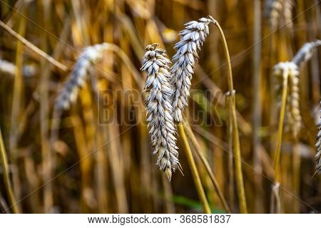 Ripe Wheat Ears In A Field. Wheat Field.ears Of Golden Wheat Close Up. Background Of Ripening Ears O