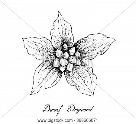 Berry Fruit, Illustration Hand Drawn Sketch Of Dwarf Dogwood Or Cornus Canadensis Fruits Isolated On