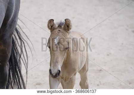 Head Of A Newborn Riding Horse Colt At The Farmyard, Part Of Body, Yellow Dun Color