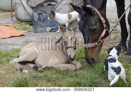 Cute Newborn Colt Lying In Grass On A Spring Day. Mothers Head In The Background, Yellow Dun Color.