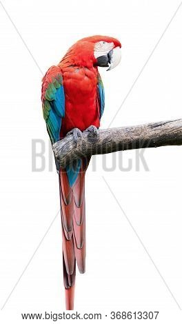 Colorful Parrot With Red Blue Green Feathers Sitting On A Tree Branch Isolated On A White Background
