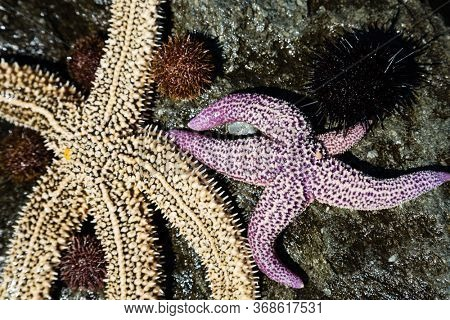Live starfish and sea urchins on the stone