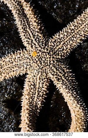 Living starfish on a stone