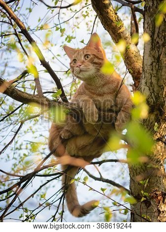 Red Cat Sitting On A Tree With Young Spring Foliage, Close-up