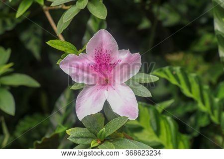 Close Up Shot Of Pink Rhododendron Simsii Flower Blossom In Bali, Indonesia. Spring Flowers Series,