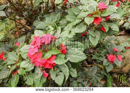 Colorful Flowerbed Of Busy Lizzie, Scientific Name Impatiens Walleriana. Blossoms In Pink, Orange, W
