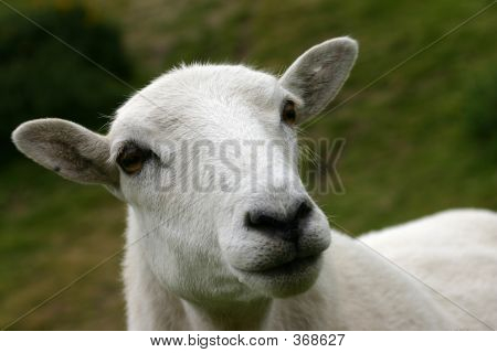 Watchful Ewe