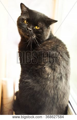 Vertical Portrait Of Black Cat With Yellow Eyes Looking In Camera. Homeless Cat After Eyes Surgery A