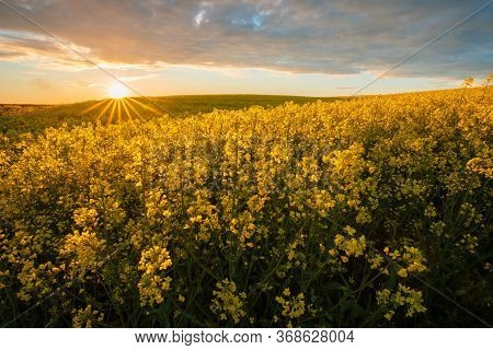Rapeseed Field At The Sunset. Yellow Canola In Bloom.