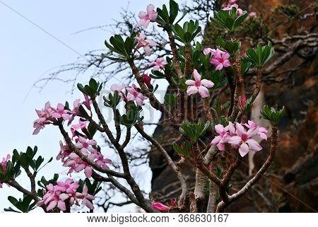 Flowering Bottle Tree Is Endemic Tree Adenium Obesum Of Socotra Island Shown At Dawn, Yemen