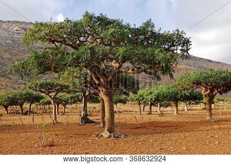 Landscape With Unusual Endemic Trees Of Socotra Island, Yemen