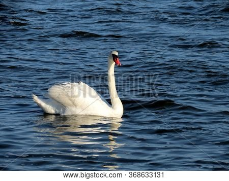 White Swan On The Sasyk Lake, Crimean Peninsula