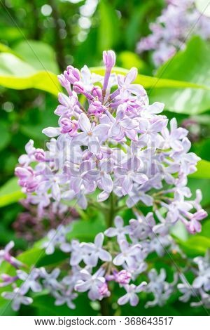 Spring Branch Blossoming Lilac