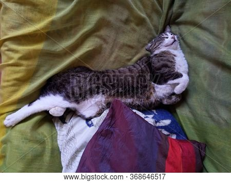 Funny European Cat Napping On The Couch