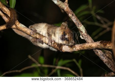 One Mouse Lemur Moves Along The Branches Of A Tree
