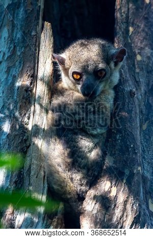 One Little Lemur Hid In The Hollow Of A Tree And Watches