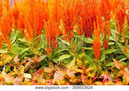 Celosia Argentea Or Commonly Known As The Plumed Cockscomb With Selective Focus Background