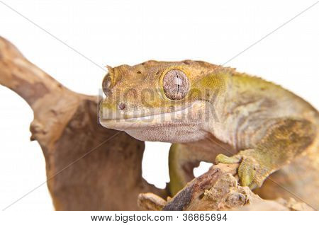 Crested gecko on a branch, isolated on white background. poster