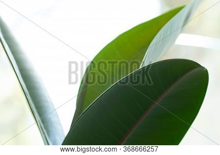 Rubber Figs Big Smooth Green Leaf Of Ficus Elastica. Botanical Macrophotography For Illustration Of