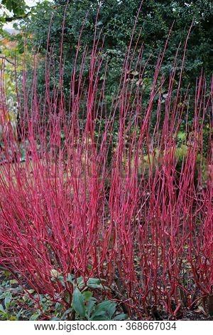 Bright Red Siberian Dogwood, Cornus Alba Variety Sibirica Winter Stems With Trees, Shrubs And Lawns