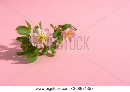 Rosehip Flower On A Pink Background. Top View Of The Branch Of The Wild Rose. Beautiful Pink Flower