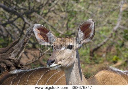 Front Side, Head Shot Of A Kudu In Botswana.
