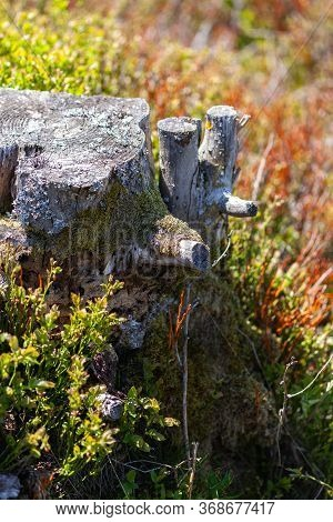 Old Stump Of Tree In Forest, Gray Stub