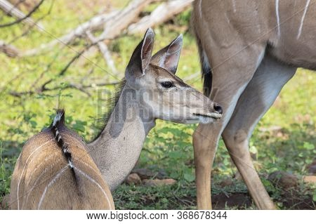 Side Head Shot Of A Young Kudu In A Small Group Feeding By The Chobe River, Botswana.